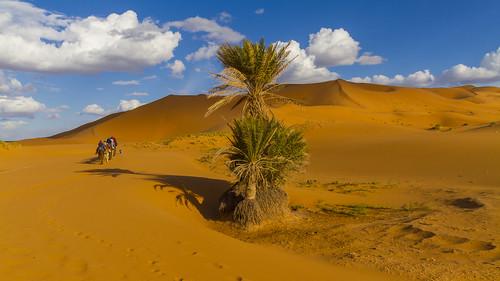 Wüstenpalme