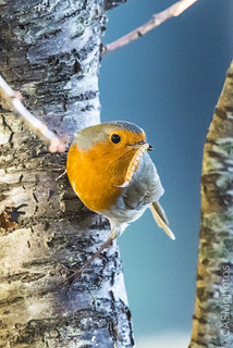 Photo of a Robin (Erithacus Rubecula) with a Mealworm. Wiltshire, England. UK.