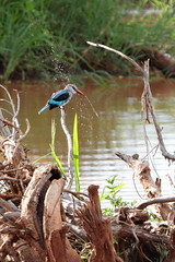Kingfisher makes spray (Sergei Golyshev (AFK during workdays)) Tags: africa park bird nature water fauna woodland tanzania african wildlife halcyon spray east telephoto national shore kingfisher tarangire waterbed природа парк птица птичка senegalensis национальный фауна африка танзания восточная зимородок альциона тарангире сенегальская