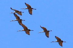 sandhill cranes at Cardinal Marsh IA 854A7382 (lreis_naturalist) Tags: county cardinal reis iowa cranes larry marsh sandhill winneshiek