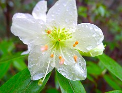 Rhododendron:ヒカゲツツジ (love_child_kyoto) Tags: coffeetime betterthangood flickrlovers