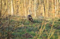 chevrette (mickeynounet) Tags: wild nature nikon chevreuil capreolus d3100