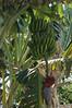 Racimo de plátanos (musa paradisiaca) (lezumbalaberenjena) Tags: ocean beach mar cuba playa caribbean boca caribe sancti spiritus 2015