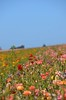 The Flower Fields, Carlsbad, CA (Rob.Bertholf) Tags: california flowers plants plant flower color nature beauty garden san colorful sandiego buttercup gardening creative commons ranunculus creativecommons carlsbad flowerfields tecolotegiantranunculus persianbuttercup tecolote theflowerfields ranunculusasiatic cityofcarlsbad agriculturalmitigationgrant cityofcarlsbadagriculturalmitigationgrant