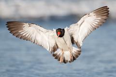 Landing (Bill'sLIPhotos) Tags: ny bird beach nature canon eos li flying spring wildlife longisland landing american april oystercatcher avian lido bif nickerson shorebird americanoystercatcher 2015 70d ef100400l