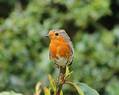 yep, another Robin (matt.uk) Tags: uk portrait bird nature robin garden scruffy