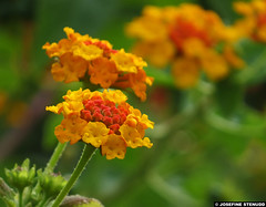20140918_02 Yellow Lantana flowers | Monaco (ratexla) Tags: life travel flowers vacation orange plants holiday plant flower travelling nature beautiful yellow europe riviera bokeh earth monaco journey blomma traveling lantana blommor interrail semester interrailing tellus 2014 organism catchycolorsyellow eurail tgluff europaeuropean almostanything tgluffning cmwd cmwdorange tgluffa unlimitedphotos eurailing earthporn photophotospicturepicturesimageimagesfotofotonbildbilder resaresor canonpowershotsx50hs 18september2014 ratexlasantibestrip2014