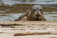 Harbor Seal (rlb1957) Tags: california beach state pescadero harborseal