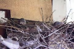 20160527-LRC34161.jpg (ellarsee) Tags: babybird scrubjay familyestate
