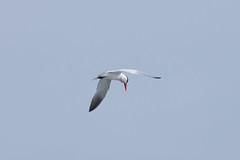 Caspian Tern (jbp274) Tags: sky bird wildlife coronado tern