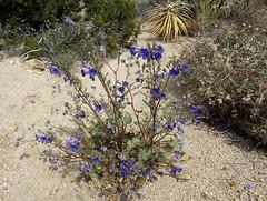 wildflowers (h willome) Tags: california desert joshuatree wildflowers joshuatreenationalpark 2016 cottonwoodsprings