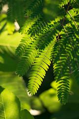 (23fumi) Tags: plant nature leaves leaf nikon cosina voigtlander 58mm nokton   d600    nokton58mm voigtlandernokton58mmf14slii