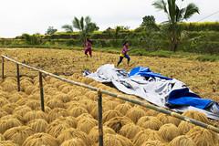 sawah 9 (Fakhri Anindita) Tags: bali nature field indonesia landscape photography nikon farm ubud sawah jatiluwih