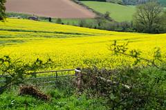 Summer Fields (Doolallyally) Tags: england golden devon fields rapeseed