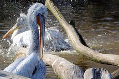 Pelikane (Wolle550) Tags: berlin natur vgel zooberlin pelecanus wasservogel ruderfser wolle550