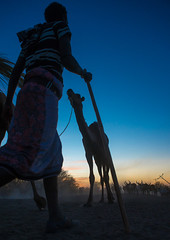 Camel caravan in danakil desert at sunset, Afar region, Afambo, Ethiopia (Eric Lafforgue) Tags: africa blue sunset color travelling animal silhouette vertical walking mammal outdoors photography sundown adult walk african peaceful tranquility dry tribal camel drought transportation stick nomad traveling ethiopia tribe arid onthemove oneperson ethnicity hornofafrica transporting occupation eastafrica herder abyssinia tribesman greatriftvalley ruralscene herbivorous onemanonly animalthemes workinganimal danakil 1people indigenousculture afarregion nomadicpeople afambo afardepression ethio162801