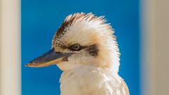 Kooka on a bright Day (Jan van_Dijk) Tags: bird nature bright native natuur sunny australia kingfisher queensland oiseau kookaburra vogel enprofile guuguubarra