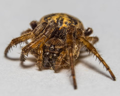 2mm Orb Weaver Color (chrisfergusonworks) Tags: macro closeup spider g fullframe 90mm f28 orbweaver lightroom extensiontubes chrisferguson a7r sonyg autoextensiontubes sonya7r sonyfe 90mmf28g