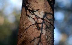 autumn shadow (dustaway) Tags: autumn tree nature afternoon shadows dof australia nsw trunk treebark rotarypark lismore afternoonlight northernrivers dryrainforestsubtype