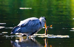Speared! (Steve-h) Tags: park camera ireland dublin orange naturaleza white lake fish black colour reflection green heron nature water birds yellow digital canon reflections lens outdoors eos grey spring pond exposure colours bright action spears natur beak feathers may natura scales perch algae ef tails fins spear speared bushypark 2016 steveh spearing ef100400mm greatgreyheron eos5dmkii
