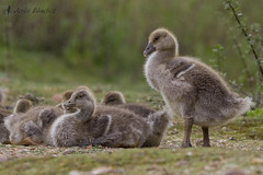 Ansar comn, pollada (Anser anser) (jsnchezyage) Tags: naturaleza bird fauna birding ave anseranser ganso ansarcomn