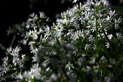 Wild Garlic (AlexSalvetore) Tags: flowers wild food white plant flower nature field natural walk devon garlic allium depth underfoot ursinum of