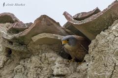 Cerncalo primilla macho (Falco naumanni) (jsnchezyage) Tags: naturaleza bird fauna birding ave pjaro rapaz falconaumanni cerncaloprimilla