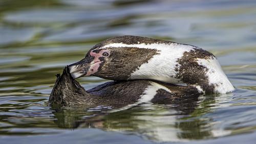 Penguin grooming again