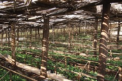 Growing (My photos live here) Tags: africa canon eos tea fort farm plantation portal uganda 1000d