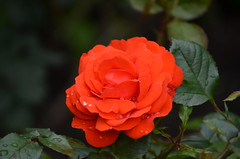 Red Rose (tonny.froyen) Tags: flowers flores flower macro fleur beautiful fleurs garden botanical petals pretty blumen petal stunning bloom blooms fiori blomst blomster molde picoftheday floweroftheday flowermagic flowerslovers rbnett flowerstagram flowersofinstagram