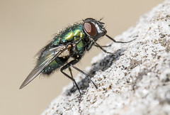 FLY (zarb67) Tags: macro closeup canon fly insects flyinginsect ef100mmf28lmacrois 1dxmarkll