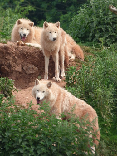 south lakes zoo - arctic wolf summer coat