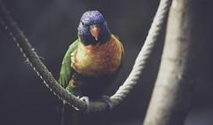 Edinburgh Zoo (erringtonsimon) Tags: bird parrot zoo edinburgh yellow green blue red rope dark light shadow happy sad sony aplha 230 lens zoom dof depth tree fave jungle forest