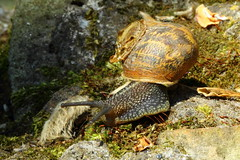 Garden Snail  Helix aspersa (jdathebowler Thanks for 860,000+ views.) Tags: wow ngc gastropod molusc autofocus potofgold helixaspersa gardensnail landsnail fantasticnature