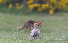 Egyptian vulture and fox (Gowild@freeuk.com) Tags: wild food bird nature rain station birds animal mammal outdoors fight spain nikon europe feeding wildlife spanish vultures fox argument conflict vulture carrion fighting pyrenees scavenger carnivore scavengers carnivores redfox andrewmarshall feeeding buseu
