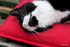 I is relaxing in my greenhouse (mootzie) Tags: pet sox cat greenhouse relaxing cushion red nose pink whiskers fangs fluffy white black