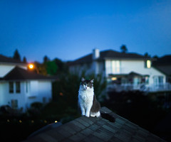 23/365 - watching the sunset atop the roof (Michellisphoto) Tags: blue sunset summer sky white cute rooftop home cat fun watching adorable kitty fluffy aww meow awe ragdoll
