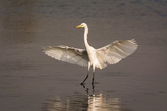 Landing (malc1702) Tags: greategret egret largebirds birds beauty grace wildlife wingspread migration migratorybirds nikond7100 tamron150600 water reflection light