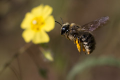 Collecting (ramosblancor) Tags: naturaleza nature animales wildlife insectos insects abeja bee apismellifera volando flying collecting recolectando polen pollen flor flower madrid