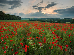 Poppies at Dusk (Damian_Ward) Tags: red rural photography countryside buckinghamshire poppy poppies daisys damianward damianward
