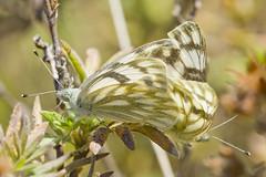 Fall Butterflies (BugMan50) Tags: butterfly ab cochrane
