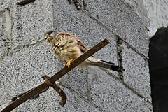 _NLM9211_ (cenen (on learning mode again....)) Tags: birds nikon tamron ksa alkhobar cs5 d7000 150600