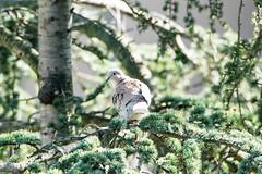 _JEM2482_1 (SuperQuique) Tags: trees green nature birds pine dove tamron blackbird parrots 600mm 150600mm nikond610