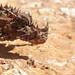 Agamidae Agaminae>Moloch horridus Thorny Devil DSCF8989