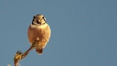 Northern Hawk Owl, Riley Rd - Duluth, 03/05/15 (TonyM1956) Tags: tonymitchell duluth stlouiscounty minnesota nature birds raptors birdofprey owls northernhawkowl sonyphotographing sonyalphadslr