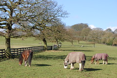 Grazing on a 'Spring' morning ..... (Halliwell_Michael ## Thank you for your visits #) Tags: trees horses spring perspective fences farmland fields baretrees westyorkshire springtime brighouse 2015 nikond40x priestleygreen