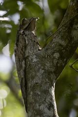 Honduras: Northern Potoo (donna lynn) Tags: march birding honduras birders 2015 northernpotoo nyctibiusjamaicensis njaudubon potoos nightjarsandallies