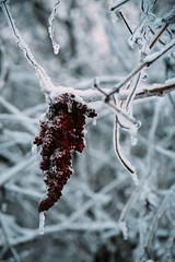 Red Winter (davelawrence8) Tags: winter snow ice walk neighborhood 5d 2015