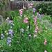 Pois de senteur, walled-garden, Threave House (XIXe), Castle Douglas, Galloway, Dumfries and Galloway, Ecosse, Grande-Bretagne, Royaume-Uni.