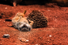 MeerKats (rich_orange) Tags: animal meerkat sleepy lazy tired wmsp